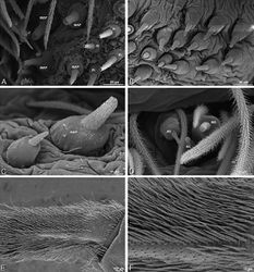 Figure 67. A–F Loureedia annulipes, female from Wadi Mashash, Negev, Israel (MR019, MR), scanning electron micrographs of spinnerets. A detail of spigots on right ALS B, C detail of spigots on left PMS D modified spigot and flanking aciniform gland spigots on left PLS E calamistrum, left metatarsus IV F detail, calamistrum seta, left metatarsus IV. Spigots in B thought to be a mixture of aciniform gland spigots and cylindrical gland spigots; unlabeled spigot in C thought to be either an aciniform gland spigot or a cylindrical gland spigot. AC aciniform gland spigot MAP major ampullate gland spigot mAP minor ampullate gland spigot MS modified spigot PI piriform gland spigot.