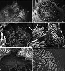 ' Figure 77. A–F' Seothyra henscheli from Kuiseb River, Gobabeb, Namibia (SMN 46627, NMN), scanning electron micrographs of female spinnerets. A overview B left ALS C left and right PMS D right PLS E cribellum F cribellar spigots. AC aciniform gland spigot ALS anterior lateral spinneret CR cribellum CY cylindrical gland spigot mAP minor ampullate gland spigot MS modified spigot PI piriform gland spigot PLS posterior lateral spinneret PMS posterior median spinneret.