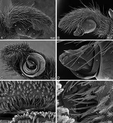 Figure 80. A–D male Stegodyphus lineatus from Nengrahar, Afghanistan (MR010, MR), scanning electron micrographs. A–D right palp, images reversed to appear as left palp E, F epiandrous region A prolateral view B retrolateral view C apical view D detail, prolateral view E ventral view F detail of epiandrous gland spigots. C conductor E embolus ST subtegulum T tegulum.