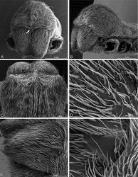 Figure 81. A–F Female Stegodyphus lineatus from Belkis, near Birecor, Turkey (MR015, MR), scanning electron micrographs of prosoma and chelicerae. A anterior view, arrow indicates clypeal hood B left lateral view C eye region, dorsal view D detail, prosoma cuticle E left chelicera F left cheliceral boss.