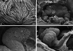 Figure 86. A–D Stegodyphus mimosarum female from Forêt d'Analalava, Fianarantsoa, Madagascar (CASENT 9015950, CAS), scanning electron micrographs of genitalia. A epigynum, ventral view B vulva, dorsal view C spermathecal head D spermatheca and fertilization duct. FD fertilization duct ML median lobe S spermatheca SH spermathecal head.