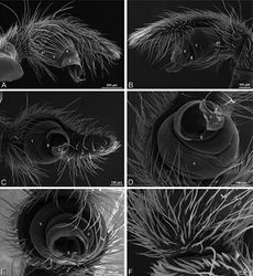 Figure 90. A–F Stegodyphus sarasinorum male from 7.5 km E PwintPhyu, Magway Division, Myanmar (CASENT 9019370, CAS), scanning electron micrographs of right palp, images reversed to appear as left palp. A prolateral view B retrolateral view C ventral view D ventral-apical view E apical view F palpal tibia, dorsal view. C conductor E embolus ST subtegulum T tegulum.