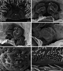 Figure 93. A–F, Stegodyphus sarasinorum from 7.5 km E PwintPhyu, Magway Division, Myanmar (CASENT 9019370, CAS), scanning electron micrographs. A–E female F male A epigynum, ventral view B vulva, dorsal view C vulva, dorsolateral view D detail of spermatheca E detail of spermathecal head F epiandrous gland spigots. FD fertilization duct ML median lobe S spermatheca SH spermathecal head.