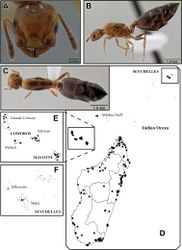 Figure 26. Crematogaster rasoherinae, queen and distribution. A–C queen (CASENT0193403) A  full face B lateral C dorsal D–F distribution maps D Madagascar and Indian Ocean island overview E Comoros and Mayotte F Seychelles.