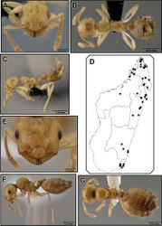 Figure 27. Crematogaster madecassa, worker, intermorph and distribution. A–C worker (CASENT0038498) A full face B dorsal C lateral D distribution E–G intermorph (CASENT0436247) E full face F lateral G dorsal.