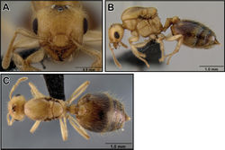 Figure 28. Crematogaster madecassa, queen. A full face, B lateral, C dorsal (CASENT0040391).