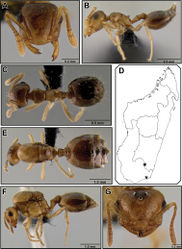 Figure 30. Crematogaster razana, worker, queen and distribution. A–C worker (CASENT0149655) A full face B lateral C dorsal D distribution E–G queen (CASENT0148782) E dorsal F lateral G full face.