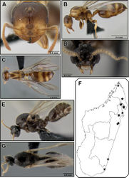 Figure 32. Crematogaster volamena, queen, male and distribution. A–C queen (CASENT0161415) A full face B lateral C dorsal D–E,G male (CASENT0162852) D full face E lateral G dorsal F distribution.