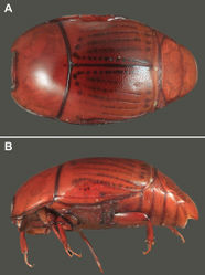 Figure 1. Habitus photos of Kaszabister barrigai sp. n. A Dorsal B Lateral.