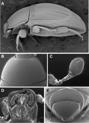Figure 2. Generic characters of Kaszabister. A Lateral habitus of Kaszabister barrigai showing carinate and convergent dorsolateral elytral striae B Pronotum of Kaszabister carinatus C Antenna of Kaszabister carinatus D Mouthparts of Kaszabister carinatus E Propygidium and pygidium of Kaszabister carinatus.