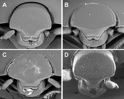 Figure 3. Anterior view of head. A Kaszabister barrigai B Kaszabister ferrugineus C Kaszabister rubellus D Kaszabister carinatus.