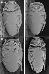 Figure 4. Ventral habitus. A Kaszabister barrigai B Kaszabister ferrugineus C Kaszabister rubellus D Kaszabister carinatus.