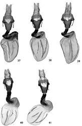 Figures 37–41. Female genitalia. 37–39 Polymixis serpentina minoica 37 Greece, Crete, slide No. OP1284f 38 Greece, Crete, slide No. OP1340f 39 Greece, Crete, slide No. OP1346f 40, 41 Polymixis iatnana 40 Cyprus, slide No. OP1031f 41 Cyprus, slide No. OP1041f.