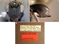 Figure 44. Tessmannella kiplingi Buffington & van Noort, sp. n., holotype A head, anterior view B metasoma, lateral view C labels.
