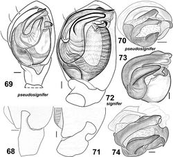 Figures 68–74. Males of Haplodrassus pseudosignifer (68–70 from Crimea) and Haplodrassus signifer (71–74 from Crimea): 68, 71 RTA, retrolateral view 69, 72 palp, ventral view 70, 73–74 bulbus, apical view.