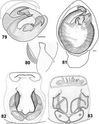 Figures 79–83. Haplodrassus umbratilis from Crimea: 79 bulbus, apical view 80 RTA, retrolateral view 81 palp, ventral view 82 epigyne, ventral view 83 epigyne, dorsal view. Abbreviations: Bp broad process of terminal apophysis.