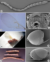Figures 25–31. Zapatella nievesaldreyi,female: 25 antenna 26 forewing 27 metascutellum and propodeum (posterodorsal view) 28 metasoma (lateral view) 29 metasoma with ventral spine of hypopygium (lateral view) 30 female habitus (lateral view) 31 twigs with galls.
