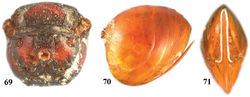 Figures 69–71. Zapatella oblata, female 69 metascutellum and propodeum (posterodorsal view) 70 metasoma (lateral view) 71 ventral spine of hypopygium (ventral view).