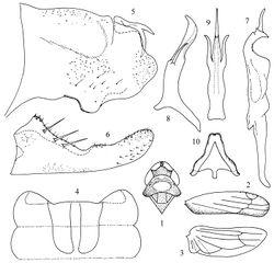 Figures 1–10. Kapsa acuminata sp. n. 1 Head and thorax, dorsal view 2 Forewing 3 Hind wing 4 Abdominal apodemes 5 Pygofer lobe, lateral view 6 Subgenital plate 7 Style 8 Aedeagus, lateral view 9  Aedeagus, ventral view 10 Connective