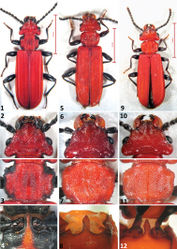 Figures 1–12. The three European Cucujus species, adults. 1–4 Cucujus cinnaberinus 1 Total body, dorsal view 2 Head 3 Pronotum 4 Prosternal apophysis 5–8 Cucujus haematodes 5 Total body, dorsal view 6 Head 7 Pronotum 8 Prosternal apophysis 9–12 Cucujus tulliae 9 Total body, dorsal view 10 Head 11 Pronotum 12 Prosternal apophysis.