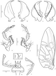 Figure 3. Trichognathus marginipennis, male: a left mandible in dorsal view b right mandible in dorsal view c right mandible in ventral view d left mandible in ventral view; maxilla e dorsal view; f. ventral view g glossa in lateral view h labium in ventral view i labial palp in dorsal view j hind wing – AP: anal posterior AA anal anterior CuA cubitus anterior MP media posterior.