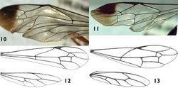 Figures 10–13. Wings of Apechoneura seminigra sp. n. 10, 12 female, holotype; 11, 13 putative male.