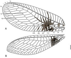Figure 5. Semachrysa jade sp. n. A forewing B hindwing. Vestiture omitted. Abbreviations: dcc, distal cubital cell; ig, inner gradate series; psc, pseudocubital vein; psm, pseudomedial vein; og; outer gradate series. Scale line: 1.0 mm.