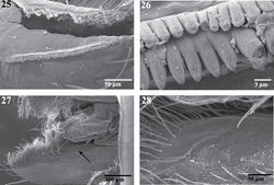Figures 25–28. Scanning electron micrographs of the endite of a female Trogloraptor marchingtoni (CASENT9040051) from M2 Cave. 25 serrula 26 serrula, close up, note multiple tooth rows 27 labrum and left endite, dorsal view, arrow to maxillary gland opening 28 maxillary gland opening, close up.