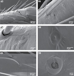 Figures 45–50. Scanning electron micrographs of sensory organs of Trogloraptor marchingtoni. 45 right tarsus I, arrow to tarsal organ 46 tarsus IV, arrow to tarsal organ 47 right tarsus I, tarsal organ 48 tarsal organ on palp 49 trichobothrium on tibia of R leg III, prolateral view 50 trichobothrial base on metatarsus of right leg III. Figures 45, 47–49 (female, CASENT9040051) 46 (male,CASENT9040066) 50 (female, CASENT9040041).