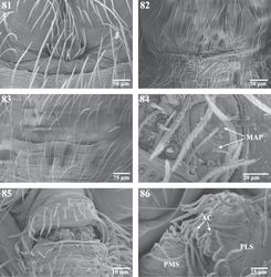Figures 81–86. Scanning electron micrographs of the spinnerets of Trogloraptor marchingtoni female (CASENT9039440) and male (CASENT9040066) from No Name Cave, and penultimate female from M2 Cave (CASENT9040012). 81 male colulus 82 male epiandrum 83 male posterior tracheal spiracle 84 penultimatefemale right ALS 85 female anal tubercle; and 86 male left PMS and PLS spinnerets, posterior, arrows to two aciniform gland spigots on PLS. AC aciniform gland spigots MAP major ampullate gland spigot(s) PMS posterior median spinnerets PLS posterior lateral spinnerets.