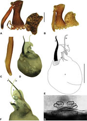 Figure 7. Austrarchaea daviesae Forster & Platnick, 1984. A–B, Cephalothorax and abdomen, lateral view: A, female (WAM T125183) from Malaan National Park, Atherton Tableland, NE. Queensland; B, holotype male (QMB S1091) from Majors Mountain, Atherton Tableland, NE. Queensland. C, Holotype male chelicerae, lateral view, showing accessory setae. D–F, Male (WAM T125183; from Malaan National Park, Atherton Tableland, NE. Queensland) pedipalp: D–E, bulb, ventral view; F, detail of distal tegular sclerites, retrolateral view. G, Female (WAM T125183) internal genitalia, postero-ventral view (genital plate removed). C = conductor; E = embolus; T = tegulum; (TS)2-3 = tegular sclerites 2-3. Scale bars: A-B = 1.0 mm; E = 0.2 mm.