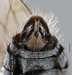Figure 4. Vomerina comapenis sp. n., male terminalia, ventral view. Scale line = 0.2 mm.