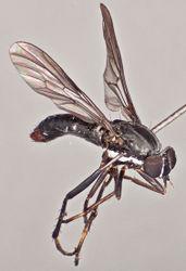 Figure 6. Vomerina micora sp. n., female habitus, oblique view. Body length = 8.0 mm.