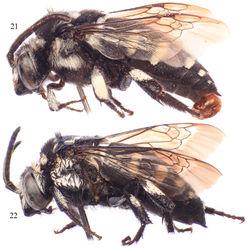 Figures 21–22. Lateral habitus of Thyreus schwarzi sp. n. from São Nicolau. 21 Male 22 Female.