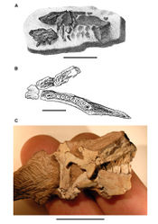 Figure 2. Early heterodontosaurid discoveries. A Lithographic drawing of the right and left premaxillae and the anterior portion of the left maxilla in lateral view of Echinodon becklesii (NHMUK 48209; from Owen 1861[42]) B Drawing of lower jaws in dorsal view of Geranosaurus atavus (SAM-PK-K1871; from Broom 1911[43]) C Photograph of the posterior portion of a subadult skull in right lateral view of Heterodontosaurus tucki (AMNH 24000). Scale bars equal 1 cm in A and 2 cm in B and C.