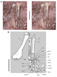 Figure 36. Forelimb of Abrictosaurus consors from the Lower Jurassic Upper Elliot Formation of South Africa. Stereopair (A) and line drawing (B) of the right forelimb in anterior and ventral views (NHMUK RU B54). Hatching indicates broken bone; dashed lines indicate estimated edges; tone indicates matrix. Scale bars equal 2 cm in A and B. Abbreviations: dc distal carpal dpc deltopectoral crest fr fragment h humerus mc1-5 metacarpals 1-5 ph I-1 phalanx 1 of manual digit I ph II-1 phalanx 1 of manual digit II ph  III-1 phalanx 1 of manual digit III ph III-2 phalanx 2 of manual digit III ph V-1 phalanx 1 of manual digit V po postorbital ra radius sk skull ul ulna ule ulnare.