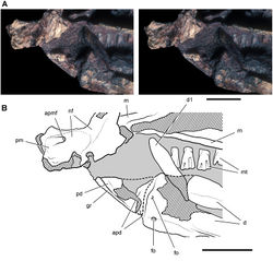 Figure 39. Snout end of Heterodontosaurus tucki from from the Lower Jurassic Upper Elliot and Clarens formations of South Africa. Close-up view of the anterior end of a juvenile skull (SAM-PK-K10487). Stereopair (A) and line drawing (B) in left lateral view. Hatching indicates broken bone; dashed lines indicate estimated edges; tone indicates matrix. Scale bars equal 5 mm in A and B. Abbreviations: apd articular surface for the predentary apmf anterior premaxillary foramen d dentary d1 dentary tooth 1 fo, foramen gr groove m maxilla mt maxillary teeth nf narial fossa pd predentary pm premaxilla.
