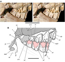 Figure 41. Posterior dentition of Heterodontosaurus tucki from from the Lower Jurassic Upper Elliot and Clarens formations of South Africa. Tooth wear and replacement in posterior maxillary and dentary teeth of a juvenile skull (AMNH 24000). Stereopair (A) and line drawing (B) in right lateral view. Hatching indicates broken bone; dashed lines indicate estimated edges; grey tone indicates matrix; pink tone indicates wear facets. Scale bars equal 2 cm in A and 1 cm in B. Abbreviations: asaf anterior surangular foramen c coronoid cp coronoid process d dentary d7, 11 dentary tooth 7, 11 ec ectopterygoid jfl jugal flange m maxilla m8, 11 maxillary tooth 8, 11 mpcf mesial paracingular fossa pri primary ridge sa surangular wf wear facet.