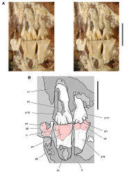 Figure 42. Posterior dentition of Heterodontosaurus tucki from the Lower Jurassic Upper Elliot and Clarens formations of South Africa. Tooth wear and replacement in posterior maxillary and dentary teeth in a juvenile skull (AMNH 24000). Stereopair (A) and line drawing (B) in left lateral view. Hatching indicates broken bone; grey tone indicates matrix; pink tone indicates wear facets. Scale bars equal 5 mm in A and B. Abbreviations: d dentary d8-10 dentary tooth 8–10 m maxilla m10, 11 maxillary tooth 10, 11 pc pulp cavity pri primary ridge ri ridge wf wear facet.
