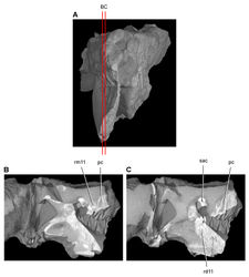 Figure 45. Tooth structure, occlusion, and replacement in Heterodontosaurus tucki from the Lower Jurassic Elliot and Clarens Formations of South Africa.Successive sagittal computed-tomographic sections in cutaway view of a subadult skull (AMNH 24000). A Posterior portion of skull in anterior view showing the location of sagittal cross-sections B, C Cross-sections in right lateral view through right maxillary and dentary rami. Abbreviations: pc pulp cavity rd11 replacement dentary tooth 11 rm11 replacement maxillary tooth 11 sac superior alveolar canal.