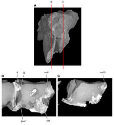 Figure 46. Tooth structure, occlusion, and replacement in Heterodontosaurus tucki from the Lower Jurassic Elliot and Clarens Formations of South Africa. Successive sagittal computed-tomographic sections in cutaway view of a subadult skull (AMNH 24000). A Posterior portion of skull in anterior view showing the location of sagittal cross-sections B Cross-section in right lateral view through right maxillary and dentary rami C Cross-section in right lateral view through left maxillary and dentary rami. Abbreviations: psaf posterior surangular foramen q quadrate qj quadratojugal rd8 replacement dentary tooth 8 rm9, 10 replacement maxillary teeth 9, 10.
