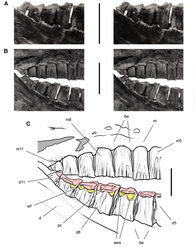 Figure 55. Posterior dentition of Heterodontosaurus tucki from the Lower Jurassic Upper Elliot and Clarens formations of South Africa. Posterior half of worn maxillary and dentary tooth row in an adult skull in right lateral view (SAM-PK-K1332). Stereopair (A) of right posterior dentary tooth row tipped labially (laterally) exposing the wear facets in dorsolateral view. Stereopair (B) and line drawing (C) of the posterior half of the tooth rows in natural articulation in lateral view. Hatching indicates broken bone; grey tone indicates matrix; pink tone indicates wear facets; yellow tone indicates accessory wear surfaces. Scale bars equal 1 cm in A and B, 5 mm in C. Abbreviations: aws accessory wear surface be buccal emargination d dentary d5, 8, 11 dentary tooth 5, 8, 11 m maxilla m5, 8, 11 maxillary tooth 5, 8, 11 pc pulp cavity wf wear facet.