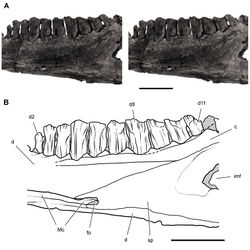 Figure 56. Postcaniniform dentary tooth row of Heterodontosaurus tucki from the Lower Jurassic Upper Elliot and Clarens formations of South Africa. Worn right dentary tooth row in an adult skull (SAM-PK-K1332). Stereopair (A) and line drawing (B) in medial view. Dashed lines indicate estimated edges; tone indicates matrix. Scale bars equal 1 cm in A and B. Abbreviations: c coronoid d dentary d2, 8, 11 dentary tooth 2, 8, 11 fo foramen imf internal mandibular fenestra; Mc Meckel's canal sp splenial.