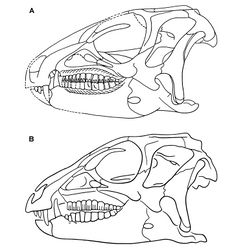 Figure 57. Skull of Heterodontosaurus tucki from the Lower Jurassic Upper Elliot and Clarens formations of South Africa. Previous skull reconstructions in left lateral view A From Charig and Crompton (1974)[30] B Reversed from Weishampel (1984)[7].