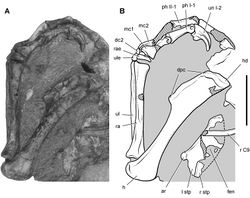 Figure 64. Pectoral girdle and forelimb of Heterodontosaurus tucki from the Lower Jurassic Upper Elliot and Clarens formations of South Africa. Pectoral girdle and forelimb of an adult skeleton (SAM-PK-K1332). Photograph (A) and line drawing (B) of the sternal plates and left forelimb in dorsal and medial view, respectively. Hatching indicates broken bone; dashed lines indicate estimated edges; tone indicates matrix. Scale bar equals 3 cm. Abbreviations: I, II digit I, II ar articular surface for a sternal rib C9 cervical 9 dc2 distal carpal 2 dpc deltopectoral crest fen fenestra h humerus hd head l left mc1, 2 metacarpal 1, 2 ph phalanx r rib or right ra radius rae radiale stp sternal plate ul ulna ule ulnare un ungual.