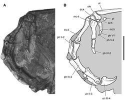 Figure 66. Carpus and manus of Heterodontosaurus tucki from the Lower Jurassic Upper Elliot and Clarens formations of South Africa. Carpus and manus of an adult skeleton (SAM-PK-K1332). Photograph (A) and line drawing (B) of the left carpus and manus in lateral view. Hatching indicates broken bone; tone indicates matrix. Scale bar equals 2 cm. Abbreviations: II-V digits II-V dc4, 5 distal carpal 4, 5 mc3-5 metacarpals 3–5 ph phalanx pi pisiform ul ulna ule ulnare un ungual.