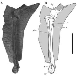 Figure 69. Hindlimb of Heterodontosaurus tucki from from the Lower Jurassic Upper Elliot and Clarens formations of South Africa. Tibiotarsus in an adult skeleton (SAM-PK-K1332). Photograph (A) and line drawing (B) of the left distal femur and tibiotarsus in lateral view. Hatching indicates broken bone; dashed lines indicate estimated edges; tone indicates matrix. Scale bar equals 5 cm. Abbreviations: at anterior trochanter ca calcaneum fe femur fi fibula ti tibia.