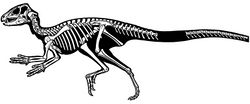 Figure 72. Skeleton of Heterodontosaurus tucki from the Lower Jurassic Upper Elliot and Clarens formations of South Africa. Silhouette skeletal reconstruction in lateral view showing preserved bones (based on SAM-PK-K1332). Distal most caudal vertebrae unknown.