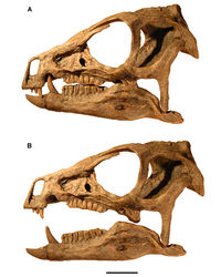 Figure 93. Relative position of the lower jaw in Heterodontosaurus tucki from the Lower Jurassic Upper Elliot and Clarens formations of South Africa. Position of the lower jaw during occlusion (A) and moderate gape (B) as seen in left lateral view of a cast of the cranium and lower jaws of adult specimen SAM-PK-K1332. Scale bar equals 2 cm.