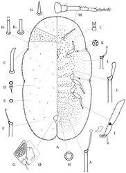 Figure 2. Adult female of Megapulvinaria beihaiensis sp. n., A body derm B1, B2 two kinds of marginal setae C stigmatic spine D dorsal microduct E dorsal pore F dorsal tubular duct G anal plates O ano-genital fold H pregenital disc-pore I tibio-tarsus of hind leg J1, J2, J3 ventral tubular ducts K spiracle disc-pore L ventral microduct M antenna N dorsal seta.